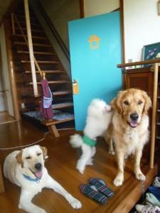犬のお宿WAPPLE相模原市ドッグホテルトイプードルペッとホテル